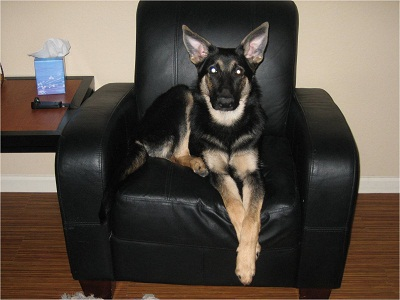 BiColor German Shepherd